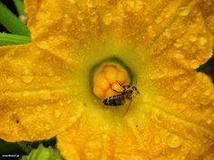 Κολοκύθια σπορά φύτεμα καλλιέργεια Garden Works, Gardening Tips, Pumpkin, Fruit, Vegetables, Plants, Pumpkins, Vegetable Recipes, Veggie Food