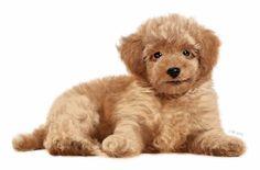 #강아지 #푸들 #토이푸들 #초코푸들 #강아지그림 #강아지일러스트 #강아지초상화 #그려드립니다 #귀여운강아지