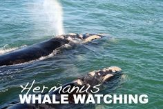 Book an unforgettable Whale Watching trip today with Hermanus Whale Watchers, a boat-based whale watching company in South Africa. Hermanus is the capital of the Cape Whale Coast, and about an hour from Cape Town in South Africa. Whale Watching Boat, Whale Watching Season, Types Of Whales, Adventure Activities, Seaside Towns, Sea Birds, Marine Life, Cape Town, Time Travel