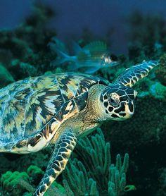 Sea Turtle Olive Ridley, Peaceful Heart, Turtle Love, Wild Creatures, Tortoises, Ocean Life, Animal Kingdom, Underwater, Sea Turtles