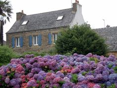 Hydrangeas in front of old stone house in Brittany, France