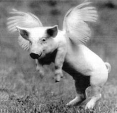 "Rare flying pig breed from Kazachstan. ""WHAT ARE YOU STARING AT? I AM THE PRODUCT OF A MIXED MARRIAGE!"" RP BY HAMMERSCHMID"