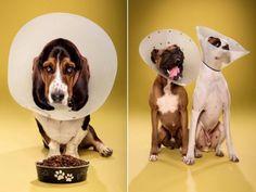Nos chiens ne sont jamais contents de porter une collerette, même si elles sont là pour leur bien ! Mais pendant ce temps, nous on trouve ça bien drôle de les voir porter ça ! Voilà de quoi bien rire ! #chiens #chien #photographies #humour #lol