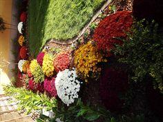 Wonderful autumn colours -Chrysanthameum multiflora mums flower bed