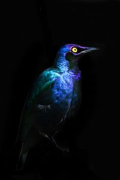 Blues on black by pattoise, via Flickr