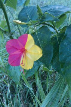 Pretty and unusual flower. It's a 4 o'clock. Unusual Flowers, Unusual Plants, Rare Flowers, Rare Plants, Yellow Flowers, Wild Flowers, Beautiful Flowers, Simply Beautiful, Trees To Plant