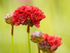 Trávnička pseudarmeria ´Ballerina Red´  Polštářovitě se rozrůstající skalnička. Rostlina dorůstá do výšky cca 25 cm. Bohatě kvete červenými květy. Květy se objevují od června do srpna. Listy tvoří růžice, jsou úzké, trávovité. Má ráda kamenité, písčité půdy, je nenáročná, vyžaduje slunné stanoviště. Vhodná do skalek, může být použita i jako náhrada trávníku nebo na okraje trvalkových záhonů. Je citlivá na přemokření.   ↔️ 30-40 cm 39,- Kč