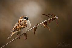 Sparrow - Zdenek Jakl on 500px