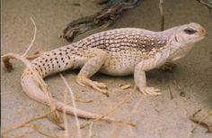 http://www.azreptiles.com/Images/fieldguide/dipsosaurus_dorsalis_hires.jpg