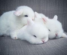 Baby bunny cuddle cute baby bunnies, hunny bunny, cute babies, be Baby Animals Super Cute, Cute Baby Bunnies, Cute Little Animals, Cute Funny Animals, Lop Bunnies, Hunny Bunny, Cute Bunny Pictures, Baby Animals Pictures, Cute Animal Photos