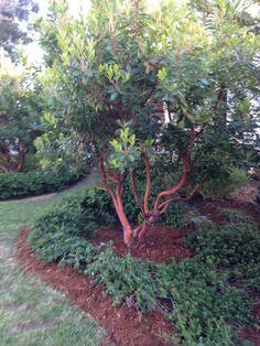 Arbutus Marina Plants, Succulents, Front Yard Landscaping, Fruit Trees, Courtyard Garden, Garden Plants, Landscaping Plants, Flowering Trees, Succulent Garden Design