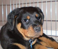 Madden's mom says: Madden is an AKC registered Rottweiler puppy that we drove to Alabama to purchase. Madden is about 10weeks old now and he can sit, come, and lie down. He is very loving, caring, and intelligent, but can be a stubborn little boy at times when things do not go his way. What else could be expected though from a young child. He loves playing with toys and trying to crawl on your lap at the same time. He enjoys being outside, rolling around in the grass, and will sometimes even…
