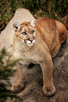 Cougar, puma, mountain lion, wildcat--so many names for such a beautiful animal and all of them fit.