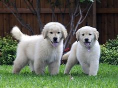Two white goldens..I will have you one day