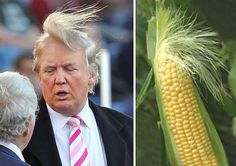 Who Wore It Better? Donald Trump Or This Ear Of Corn? ~ 15 things that look just like Donald Trump