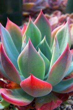 This plant is SO pretty! Echeveria subalpina Pic from Oregon Cactus & Succulent Nursery (Kara Nursery) Succulent Gardening, Cacti And Succulents, Planting Succulents, Planting Flowers, Flowers Garden, Organic Gardening, Air Plants, Garden Plants, Indoor Plants