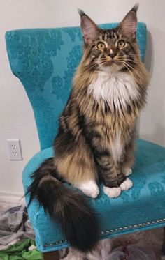 Casey, my Maine Coon love! 10 months old. Sire: CH. Regalcoons Nayati of Luckypaws. Dam: LuckyPaws Emmalee. ~PR~ luckypawsmc.com