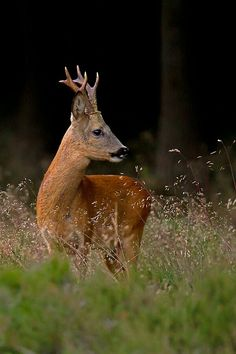 Roe deer by Andy Luberty