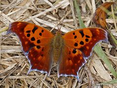 Photographs from Nature - Butterfly Gallery  Question Mark (winter form), Killbuck Cr., Ohio. Photographs Jay Cossey
