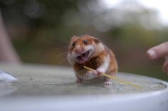 haha this hamster kicks ass! 100 Cute Animal Photos That Make You Go AWWW Hamsters As Pets, Funny Hamsters, Rodents, Cute Animal Photos, Animal Pictures, Happy Animals, Funny Animals, Adorable Cute Animals, Mammals