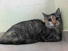 BABY LIBBY KILLED BY ACC - TO BE DESTROYED 8/25/14 ** BABY ALERT! LIBBY came in with Tibby - same age - finder wanted them to stay together (adopted / fostererd together not killed)! ** Brooklyn Center My name is LIBBY. My Animal ID # is A1010886. I am a female torbie domestic sh. The shelter thinks I am about 5 MONTHS old. I came in the shelter as a STRAY