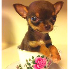 Teacup Chihuahua Yuppypup.co.uk provides the fashion conscious with stylish clothes for their dogs. Luxury dog clothes and latest season trends, Dog Carriers and Doggy Bling. Next Day Delivery. Please go to http://www.yuppypup.co.uk/ https://www.facebook.com/YuppyPup