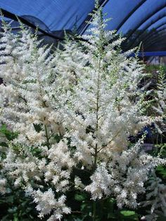 """Astilbe Japonica -- comes in a variety of colors; """"Deutschland"""" is the one pictured"""