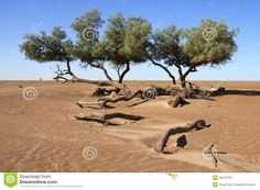 Tamarisk Trees (Tamarix Articulata) In The Desert. - Download From Over 27 Million High Quality Stock Photos, Images, Vectors. Sign up for FREE today. Image: 26475725