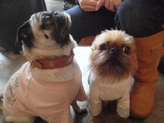 Brussels Griffon (next to a Pug)