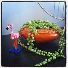 """9 mentions J'aime, 1 commentaires - Philip (@dhillonphoto) sur Instagram: """"#stringofpearls #mccoy #plants #plantlife #greenthings #flamingo #nanoblock #plants #spokane"""""""