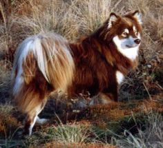 Don't know the breed of this dog but it is SO PRETTY!!!!!