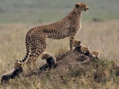 A mama Cheetah and her five cubs on the Serengeti.