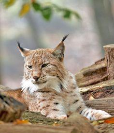 Lynx, dans le parc de Sainte-Croix, en Moselle / Source : Communauté photo GEO, © Christian Frisquet
