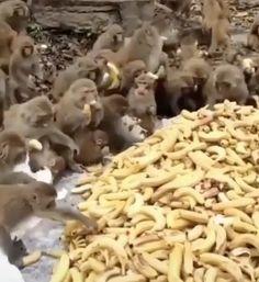 More bananas - - Funny Animal Memes, Funny Animal Videos, Cute Funny Animals, Cute Baby Animals, Funny Cute, Funny Dogs, Animals And Pets, Cute Cats, Getting A Kitten