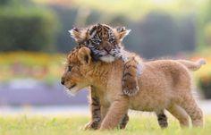 Gespot in een Japanse zoo: twee lieve babydiertjes, een leeuw en een tijger…