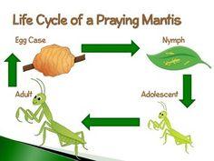 Praying Mantis ~ An Interactive PowerPoint Presentation of