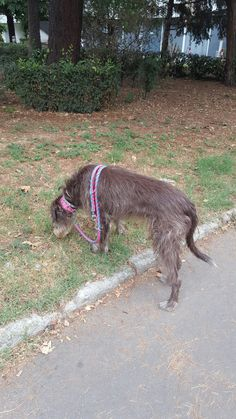 In training whith my rescued deerhound Sara ❤❤❤ very good girl ❤❤❤❤ love it