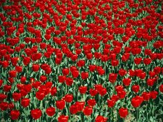 Red tulips fill Lafayette Square in Washington, D.C.