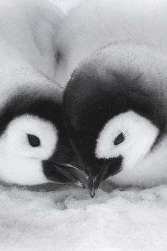 Baby Emperor Penguins.