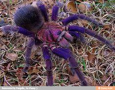 Brazilian Pinkbloom tarantula