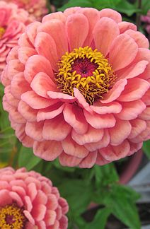 Zinnia elegans 'Benary's Giant Salmon Rose'  Container. Also in my garden this year!