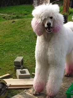 white & pink standard poodle