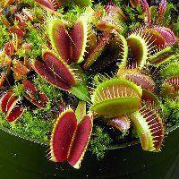 Vénusz légycsapója (Dionaea muscipula) (novenytar.krp.hu) Forrás: http://www.cascadecarnivores.com/