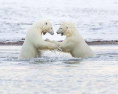 Polar bear cubs fighting in water Arctic National Wildlife Refuge Alaska USA | Photo by Ian Plant . . . . . . . . #photography #travelgram #mountains #amazing #instatravel #takemeback #aroundtheworld #beautifulplace #hsdailyfeature #neverstopexploring #naturalbeauty #exploretocreate #skylovers #photographer #openmyworld #wildlifephotography #polarbears #polarbear #wildlife