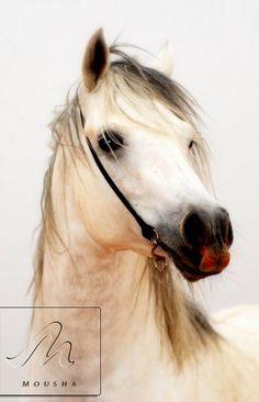 arabian horse....gorgeous horse