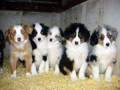Australian Shepherd Puppies! <3