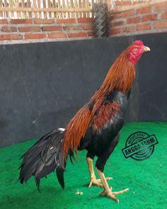83+ Gambar Ayam Aduan Terlihat Keren