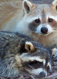 Raccoons • Karen Wiles...