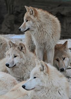 Hudson Bay Wolves by j.a.kok on Flickr