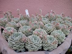 e. lilicacina x 'Lola' | Flickr - Photo Sharing! This is amazing!!!